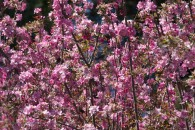 tree branches with pink blossums