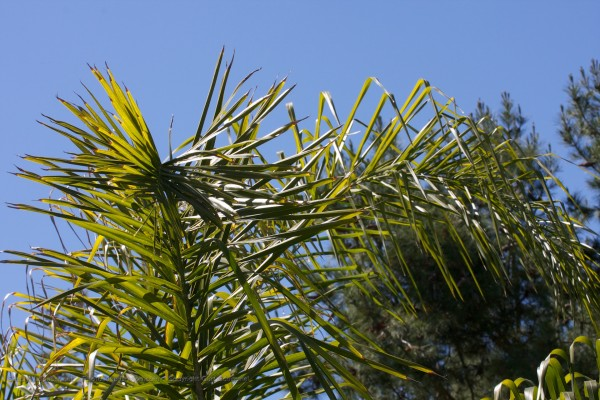 palm tree, green fronds against a blue sky