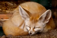 fennec fox taking a nap