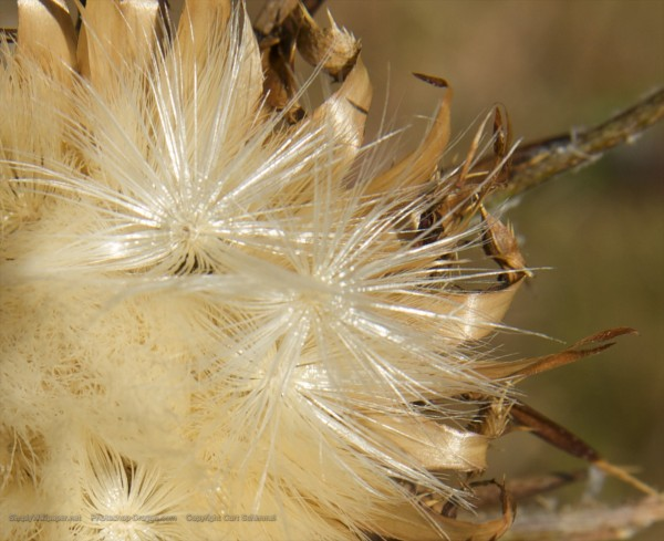 fluffy seeds on a flower