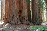 grove of giant sequoia trees