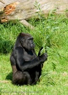 gorilla eating leaves