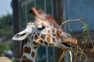 giraffe eating some leaves