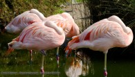group of flamingos asleep