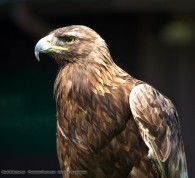 golden eagle bird
