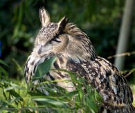 eagle owl resting on a branch