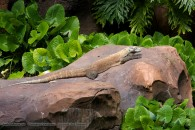 komodo dragon resting on a rock