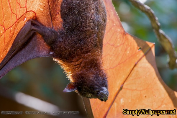 bat hanging upside down with wings spread out