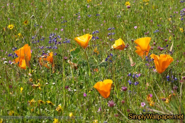 poppies and wildflowers in a meadow