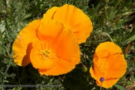 yellow/orange poppies in bloom