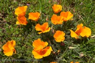 yellow/orange poppy flowers in full bloom