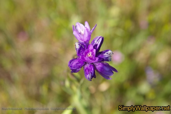 purple wildflower in a field