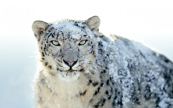 the snow leopard that appears on the Apple Mac OS X box wallpaper