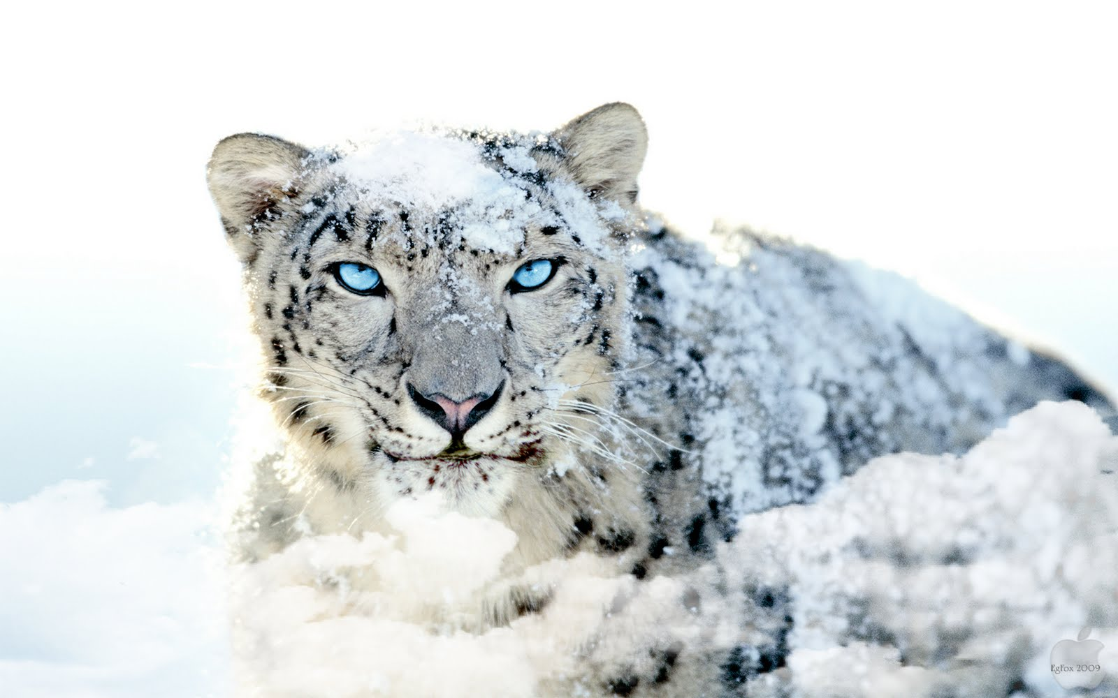 Hd wallpaper for mac - Apple Mac Os X Snow Leopard Wallpaper Click Picture For High Resolution Hd Wallpaper