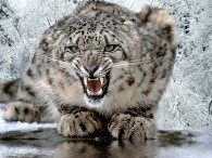 an angry snow leopard crouches and snarls in the winter snow wallpaper picture