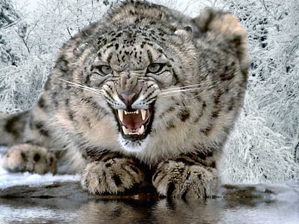 Angry Snow Leopard wallpaper - Click picture for high resolution HD