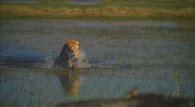 lioness charging across shallow water towards its prey wallpaper