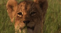 close up of a lion cub face wallpaper