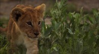 a cute lion cub wallpaper