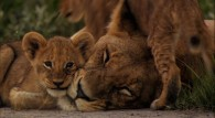 lion cubs with their mother wallpaper