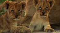 two cute lion cubs wallpaper