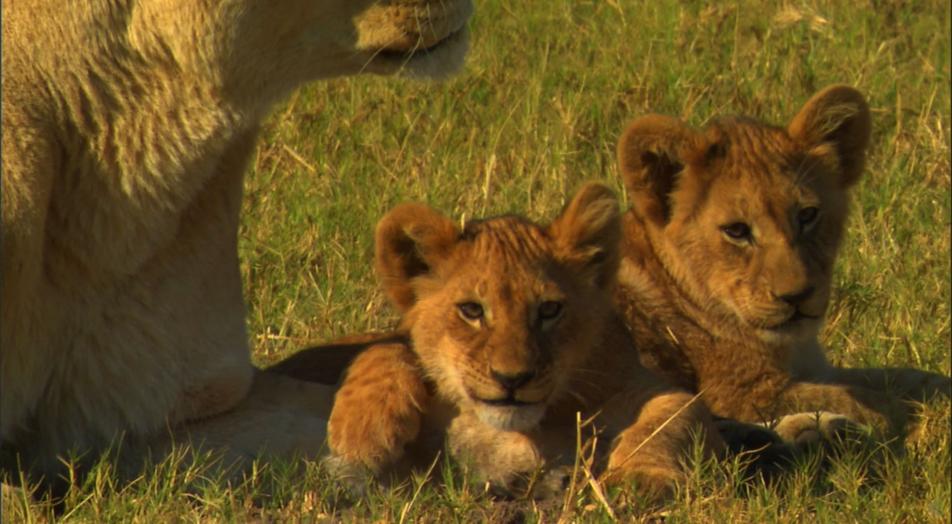 lion and cubs desktop wallpaper