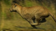 a lioness running at full speed wallpaper