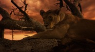 a lion (lioness) in a tree at sunset wallpaper