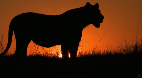a lioness at sunset on the plains wallpaper