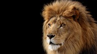 Head and mane of a large African Lion that Apple uses with the Lion release of Mac OS X operating system