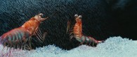 Will and Bill the krill in Happy Feet Two Movie wallpaper